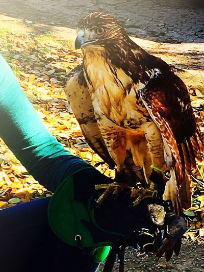 Met this red tail hawk and keeper today😎 Falconry Red Tailed Hawk Bird Animal Themes Human Hand Real People Red Tail Hawk Day Lifestyles Leisure Activity Outdoors Human Body Part Animals In The Wild Human Leg Bird Of Prey Close-up Nature Photooftheday IPhone IPhoneography Iphone6splus Texas Wildlife Falconry Glove Falconer