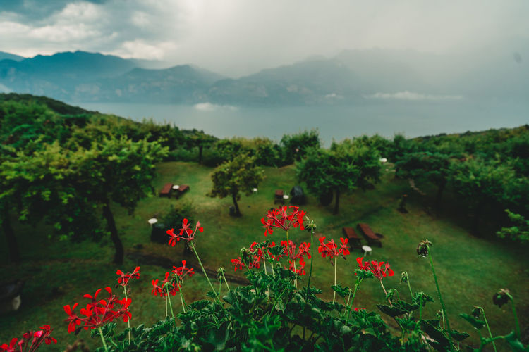 Scenic view of red flowering plants on land against sky