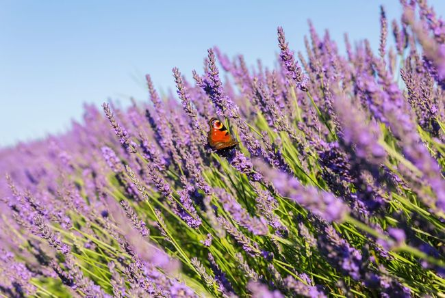 Lavender Lavandula Shrub Butterfly Insect Summer Flower Plant Beauty In Nature Outdoors Close-up Purple Freshness No People Nature Fragnance Nature Nature_collection The Great Outdoors - 2017 EyeEm Awards