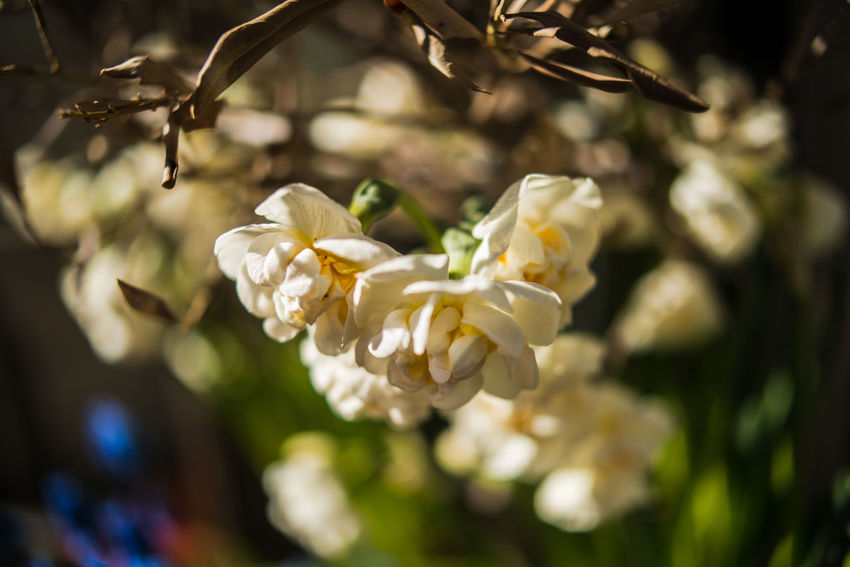 Beauty In Nature Blooming Close-up Daffodil Day Flower Flower Head Fragility Freshness Growth Macro Narcissus Nature No People Outdoors Petal Selective Focus Spring Tree White Color