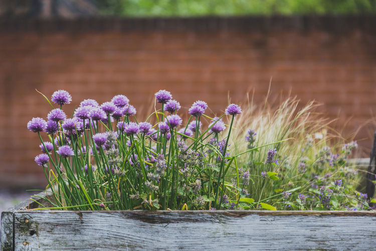 purple flowers blooming in wooden planter in front of brick wall Beauty In Nature Birmingham Blooming Brick Brick Wall Bricks Day Digbeth Flower Flower Head Freshness Growth Landscape Nature No People Orange Color Outdoors Outside Plant Planter Purple Uk Vintage Wood Wood - Material
