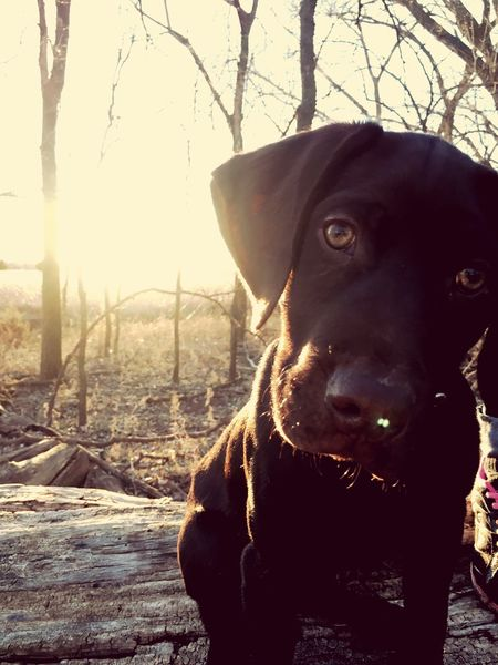 Dog One Animal Pets Domestic Animals Looking At Camera Animal Themes Mammal Portrait Close-up No People Outdoors Nature Day Labrador