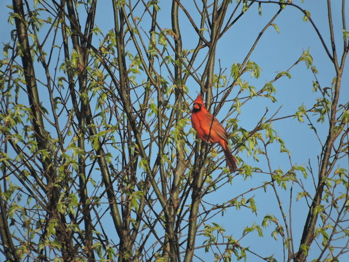 Singing the sun up. :D:D Cardinal Birds Plant Tree Animals In The Wild Animal Wildlife Animal Bird Red Sky Vertebrate Animal Themes Branch Perching Low Angle View Nature No People Day Beauty In Nature Cardinal - Bird One Animal Growth Outdoors