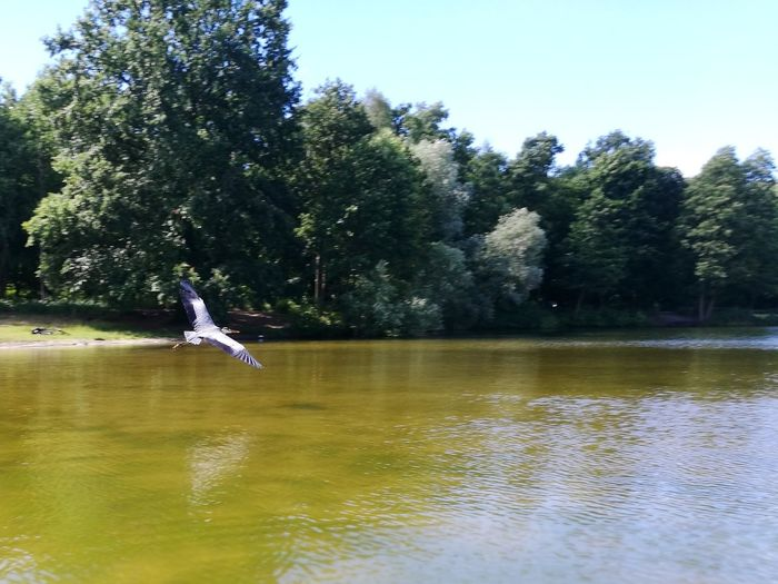 heron flying over lake Lake Lakeside Wood Jungfernheide Tree Water Flying Lake Bird Clear Sky Reflection Sky Heron Great Blue Heron Spread Wings