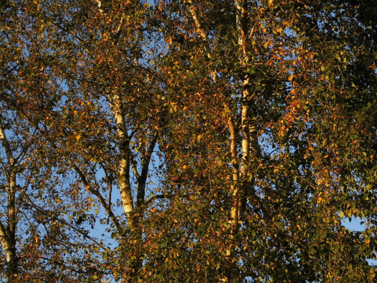 tree, nature, change, autumn, no people, full frame, day, outdoors, beauty in nature, leaf, low angle view, yellow, branch, scenics, close-up, sky