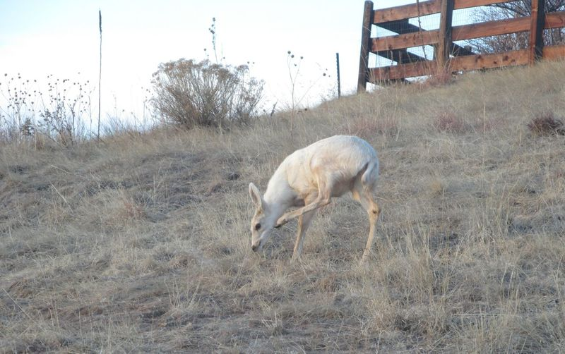 Leucistic Doe Scratches an Itch Colorado Parker Colorado Animals In The Wild Deer Field Grass Leucism Leucistic Mammal Mule Deer Nature No People One Animal Outdoors Rocky Mountains Unique White Deer Wildlife