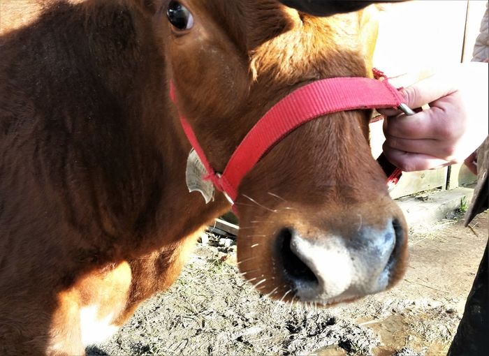 Nature Animal Head  Animal Themes Close-up Cow Cow Nose Farm Animal Close Up Harness