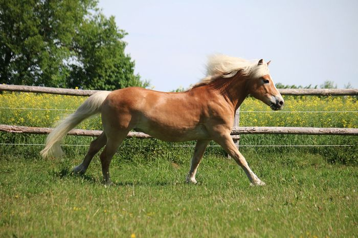beautiful hafinger horse is running on a paddock in the sunshine Chestnut Haflinger Horses Running Action Active Animal Animal Themes Animal Wildlife Blond Domestic Animals Field Grass Haflinger Horse Herbivorous Horse Land Livestock Mammal Nature Paddock Pets Plant Ranch Side View
