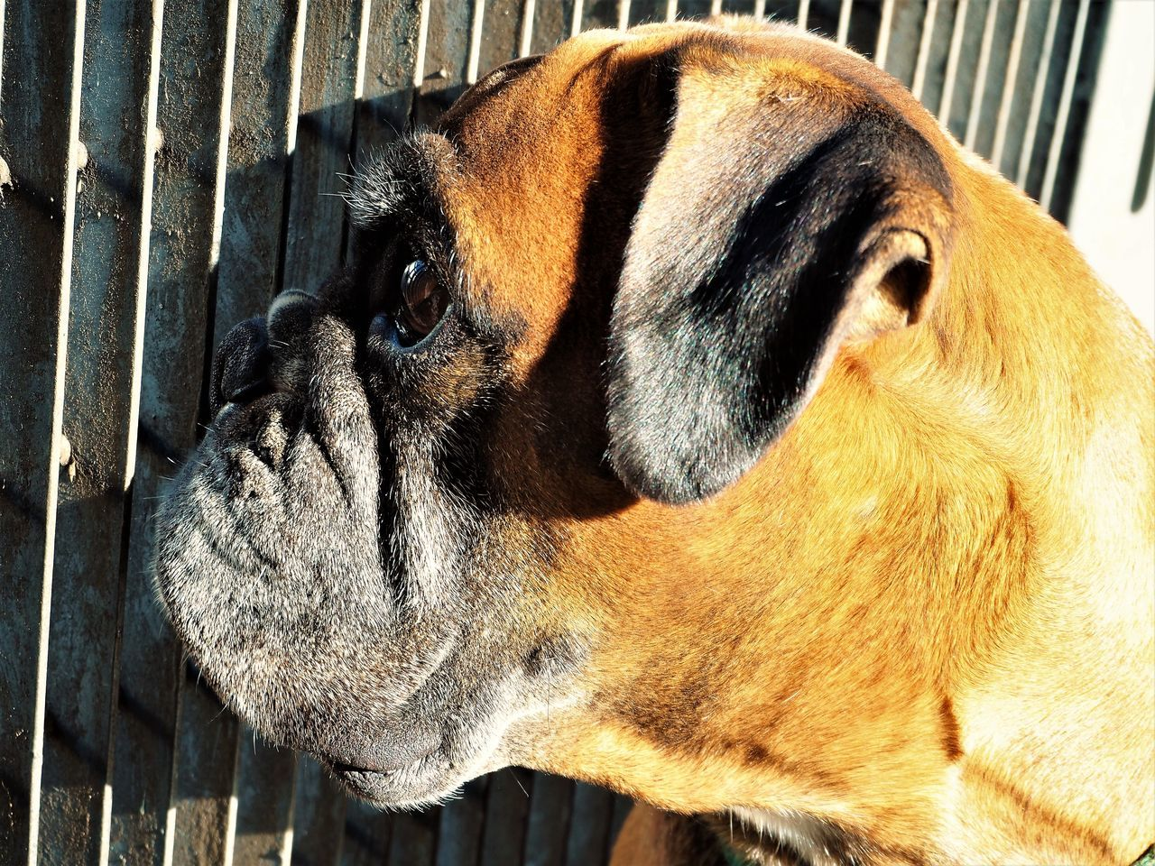 dog, pets, domestic animals, one animal, animal themes, mammal, close-up, animal body part, animal head, no people, outdoors, day
