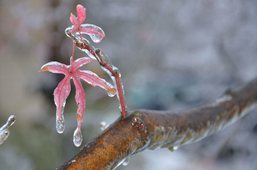 Ice Storm of 2014 Bowing Trees Chinese Maple Leaves Drip Drops Frozen Frozen In Time Frozen Nature Ice Age Iced Sea Shells IceStorm Icy It'sColdOutside It's Cold Outside Showcase: January