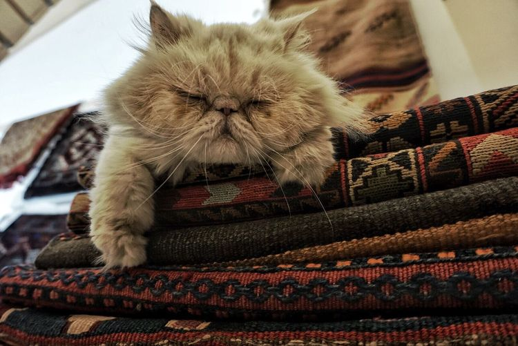 Pet Portraits Animal Themes Pets Persian Cat  Indoors  Domestic Cat Feline One Animal Cat First Eyeem Photo Pet Portraits