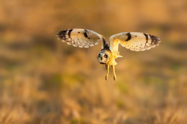 短耳鸮:我正欣赏它立在地上的萌样