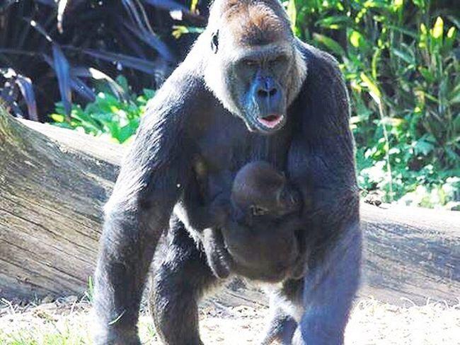 Gorilla Beauty In Nature Animals In The Wild Baby Monkey Mammal Nature Love