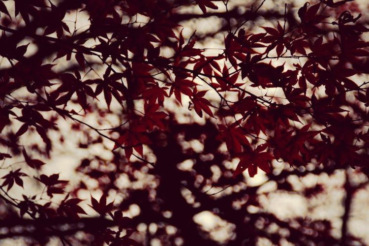 Red autumn leaves. Canon Canon70d Fukui Japan Tamron Lens
