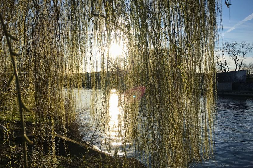 Willow Sallow Willow At The River Bank Catkin River Spring Sunny Day Nature Awakes New Leafs Romantic