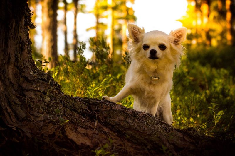 Low angle portrait of chihuahua standing by tree
