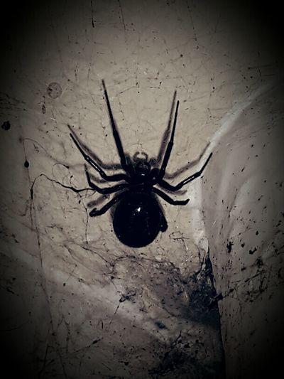 False Widow Spider Creepy