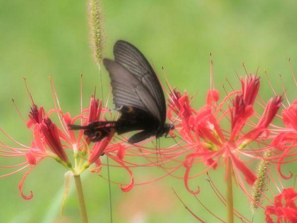 秋っていいね…なんだか切ない感じがいいね 彼岸花 アゲハ蝶 Butterfly Flower Red Flower Nature Beauty In Nature Green Nature Taking Photo Butterfly - Insect From My Point Of View EyeEm Nature Lover EyeEm Best Shots Autumn 日だまり
