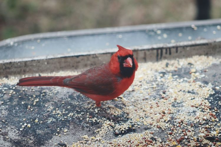 Good morning! Canonphotography Popular Photos Things In My Back Yard Wildlife Photography Animal Wildlife Birds Through My Window Redbird Red One Animal Chicken - Bird No People Domestic Animals Outdoors Nature Animal Themes Close-up Bird Day