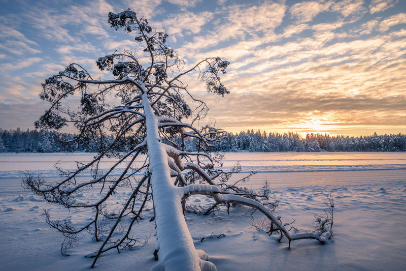 Scenic winter landscape with fallen tree and sunrise at morning time in Finland Winter Cold Temperature Snow Tree Sky Beauty In Nature Sunset Scenics - Nature Cloud - Sky Bare Tree Nature Tranquility Frozen Covering White Color No People Tranquil Scene Cold Non-urban Scene Finland Fallen Tree Snow Covered Trees Sunrise Sunlight Landscape