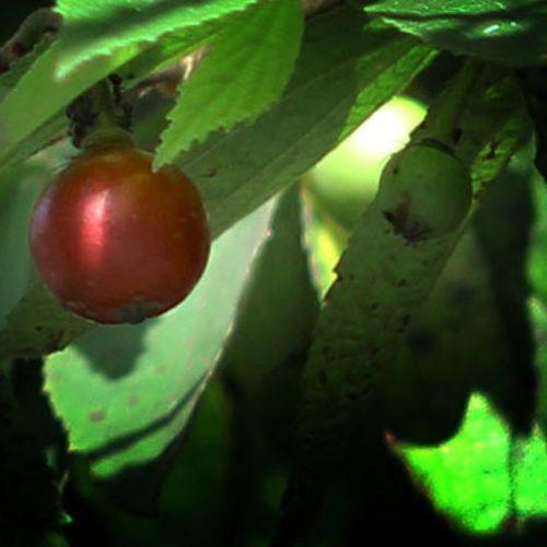 Buah kersen (Muntingia calabura L). Idola semasa kecil nih. Kersen Buah Plants Frui fruits talok