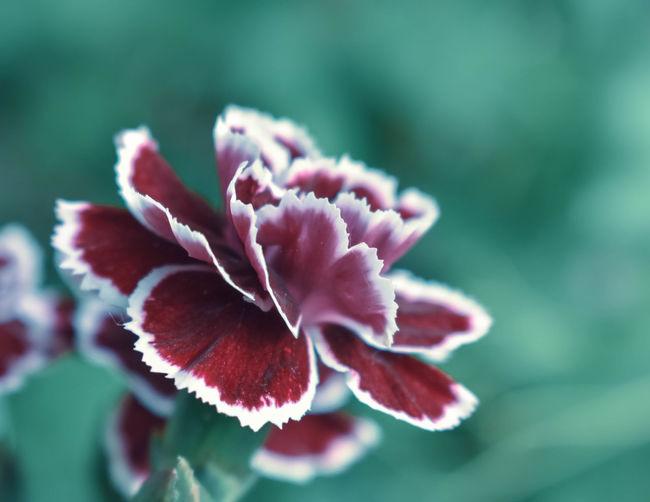 Carnation Macro