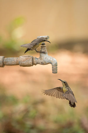 Animal Themes Animal Wildlife Animals In The Wild Beauty In Nature Bird Bird Of Prey Close-up Day Flying Focus On Foreground Mid-air Motion Nature No People One Animal Outdoors Purple Sunbird Spread Wings Sunbirds Water