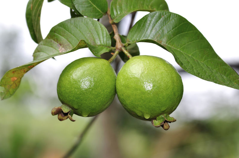guava fruits on tree Fruit Leaf Plant Part Food Healthy Eating Food And Drink Growth Freshness Green Color Close-up Plant Focus On Foreground No People Tree Nature Wellbeing Fruit Tree Day Branch Beauty In Nature Outdoors Ripe