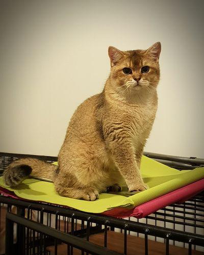 Pets Portrait Domestic Cat Sitting Feline Looking At Camera Animal Themes