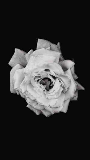 Blackandwhite White Rose Bnw Black Background Close-up Flower Head No People Plant Flower Inflorescence Flowering Plant Beauty In Nature Petal Rosé Freshness Vulnerability  Fragility Still Life Floral Pattern