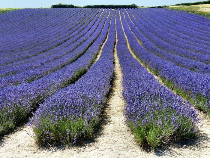 Full frame shot of lavender growing in field