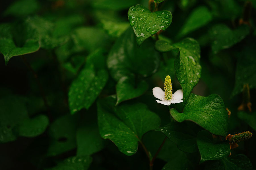 """Houttuynia cordata """"Dokudami"""" ASIA Chinese Lizard Tail Copy Space Herb Houttuynia Cordata Houttuynia CordataFloral Japan Plant Rain Raindrops Close-up Fish Herb Fish Mint Flower Green Color Growth Heart Leaf Herb Tea Herbal Herbal Medicine Leaf Leaves No People Plant White Flower Visual Creativity The Still Life Photographer - 2018 EyeEm Awards"""
