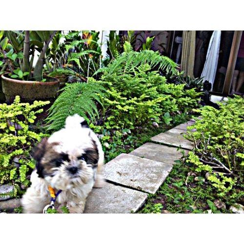 Someone's enjoying the garden while we toilet train! :)) PuppyLove Puppy Filipinosbelike Doglover toilettrainning