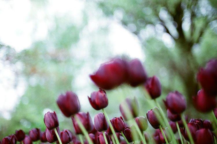 35mm Film Nikonf2 フィルム 花 Flower チューリップ Tulips