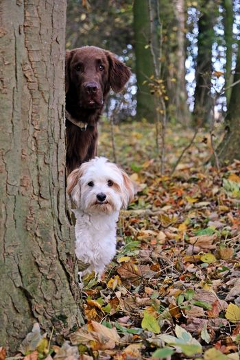 two dogs are sitting behind a tree and looking to the camera FUNNY ANIMALS Friends Funny Sitting Animal Themes Autumn Brown Change Cute Day Dog Domestic Animals Flat Coated Retriever Forest Havanese Leaf Looking At Camera Mammal Nature Outdoors Pair Pets Portrait Small Tree