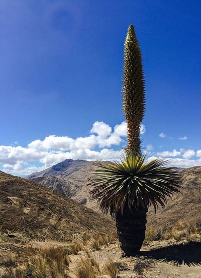 Puya raimondii, the world's largest flower! Puya Raimondii Nature Beauty In Nature Flower Bromeliaceae Guiness Worldrecord Arid Climate Mountain Cordillera Negra Andes Chicarhuapunta Cordillera De Los Andes 4314m Ancash Peru Riesenbromelie Flora Pamparomas Landscape