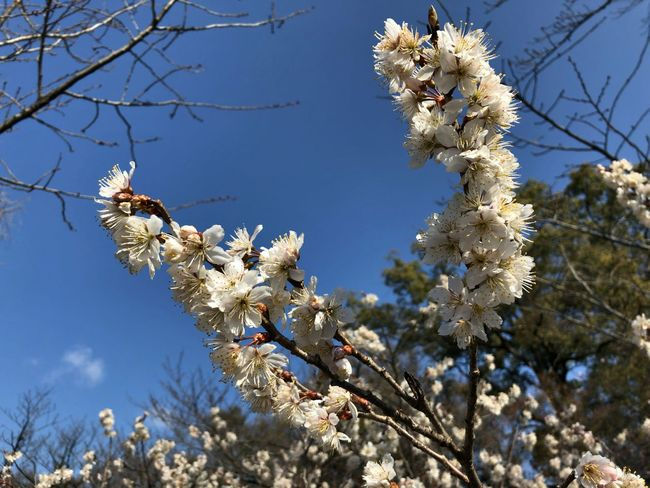 Cherry Blossoms Beauty In Nature Clear Sky Close-up Day Flower No People Springtime