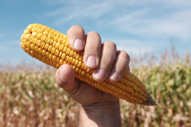 Close Up Of A Man Holding Corn In Field