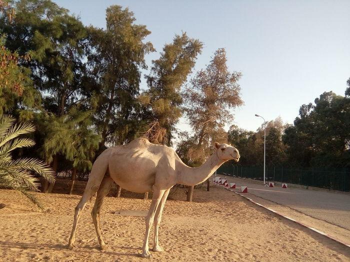 chameau Africa