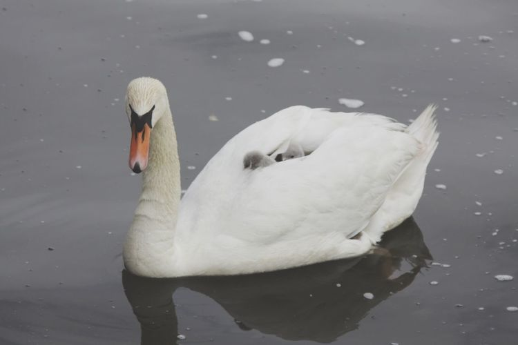 Taxi Mama White Swan Young Bird