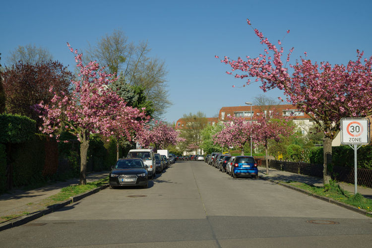 japanese cherry blossoms in full bloom Plant Transportation Tree Mode Of Transportation Land Vehicle Motor Vehicle Road Flower Car City Flowering Plant Nature Street Growth Sky Day The Way Forward Beauty In Nature Pink Color Direction Springtime Outdoors No People Cherry Blossom Cherry Tree Berlin City Park Spring Time Spring Japanese Cherry Blossoms Japanese Cherry Blossom Tree Spring Flowers