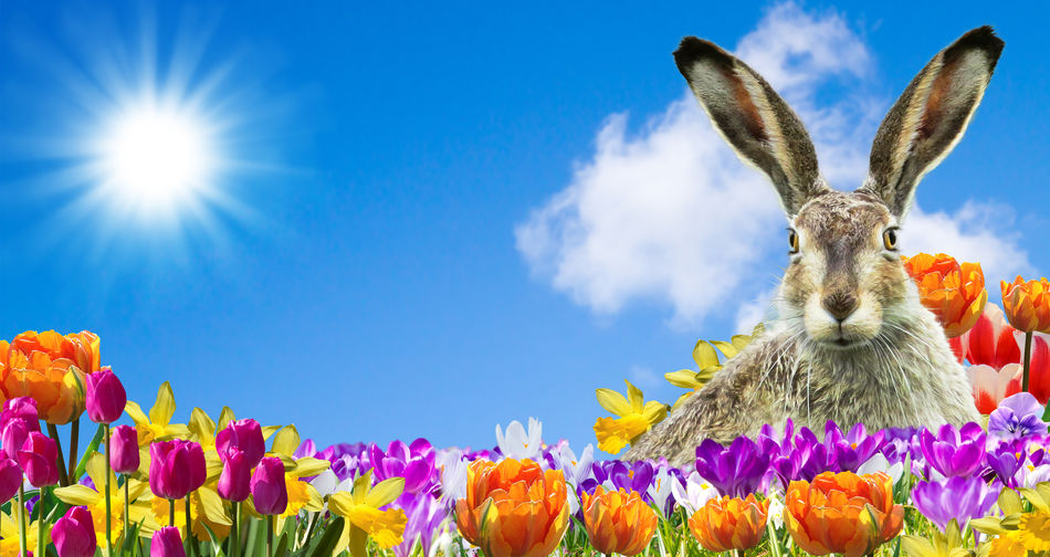Easter bunny in a flower field Flower Easter Nature Animal Mammal Holiday Celebration Fun Easter Bunny Bunny  Cute View Tulips Colorful Sky Copy Space Blue Sky Springtime Card Greetings Easter Egg Present Gift Bunny Ears  Happy