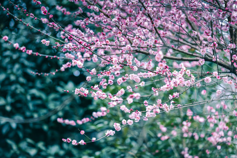 Red Plum Beauty In Nature Blossom Branch Close-up Day Flower Focus On Foreground Fragility Freshness Growth Nature No People Outdoors Plant Spring Tree