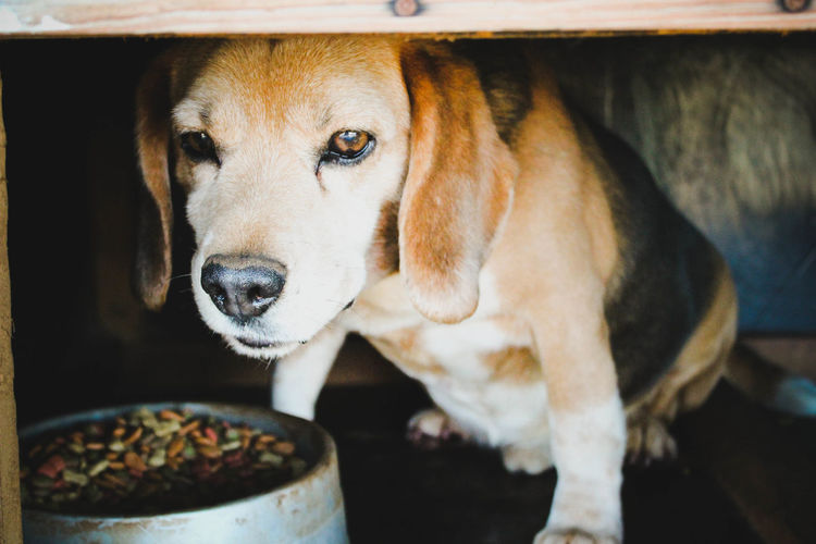 Close-up of beagle by food bowl