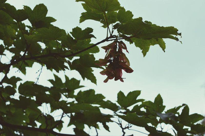 Naturelover Tree Mapleseed 🌱🌳