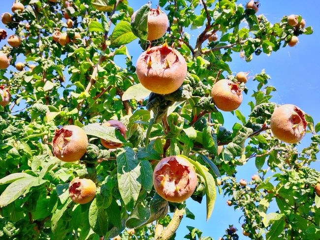 Growth Fruit Tree Nature No People Day Beauty In Nature Outdoors Plant Acorn Close-up Sky Branch Food Freshness Medlar