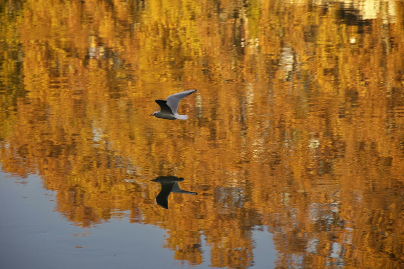 Animals In The Wild Animal Themes Animal Wildlife Animal Bird Vertebrate Flying Water One Animal Waterfront Lake Reflection Nature Day No People Beauty In Nature Outdoors Mid-air My Best Photo