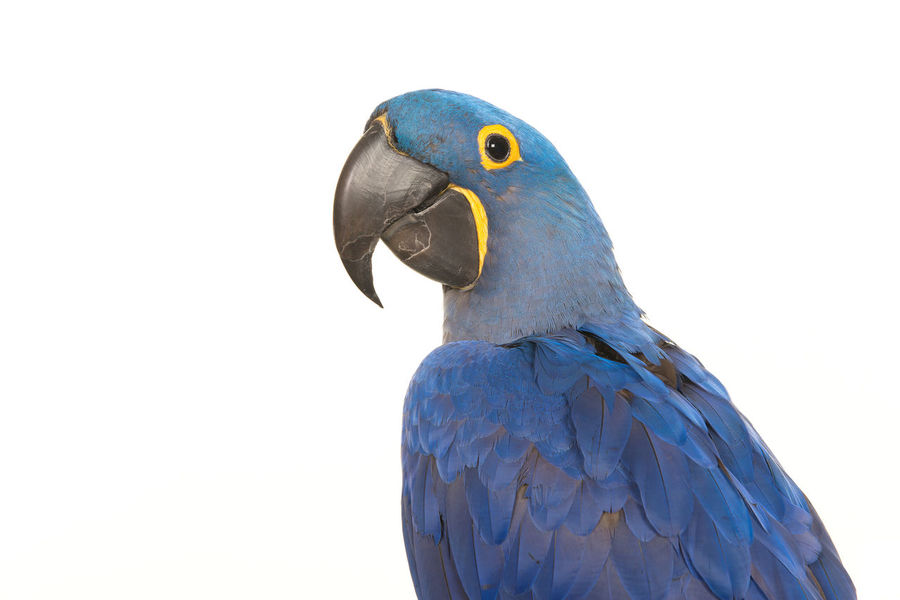 Portrait of a blue parrot a hyacinth macaw seen from the side isolated on a white background Animal Animal Themes Bird Blue Hyacinth Macaw Macaw Parrot White Background