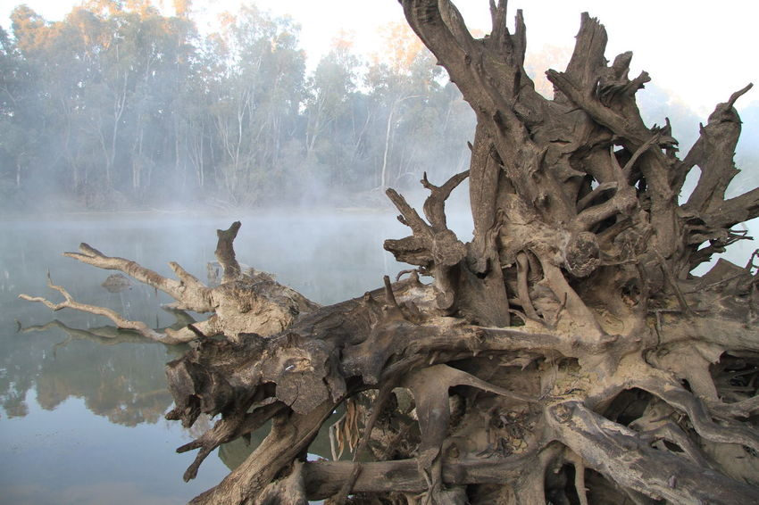 Fallen gum tree on the Murray River Australian Landscape Beauty In Nature Branch Brown Day Dead Tree Fog On Water Foggy Morning Gnarly Branches Gnarly Tree Growth Gum Tree Trunk Intertwined Branches Misty Morning Murray River Nature No People Outdoors Reflections In The Water River Roots Roots Of Tree Sky Tree Tree Trunk EyeEm Ready