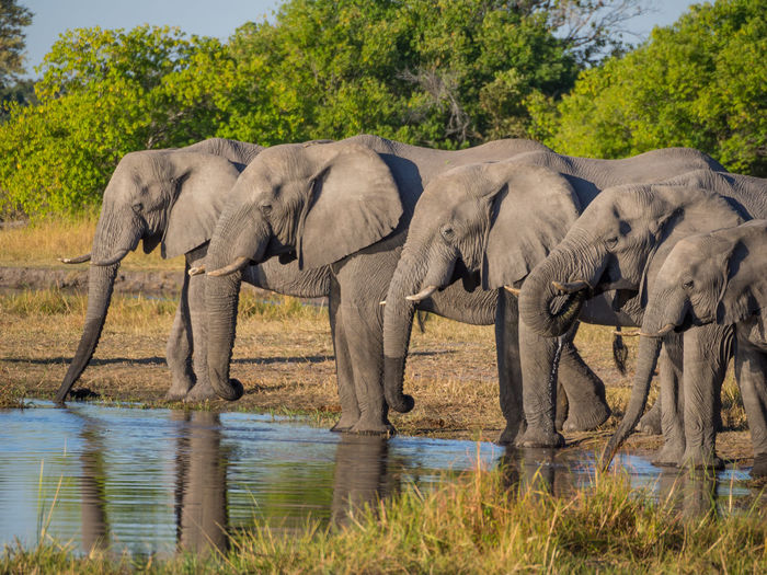 Side view of group of african elephant drinking from river, moremi game reserve, botswana